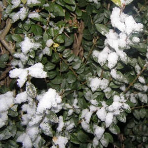 Snow on Our Hedge