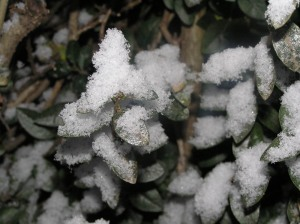 Snow on The Hedge