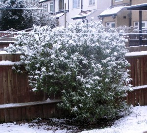 Snow on a Neighbour's Shrub